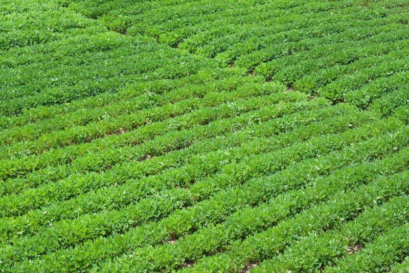 арахис фермы стоковая фотография