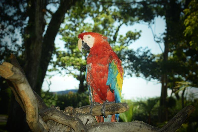 Ара Гватемала Beaty красная желтая стоковое изображение rf