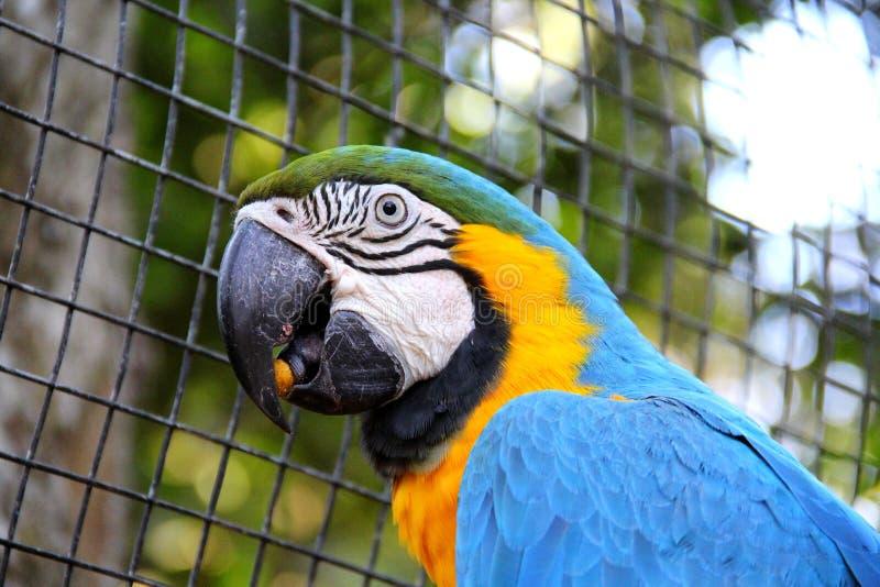 Ара голубого и желтого золота - ararauna Ara стоковые изображения