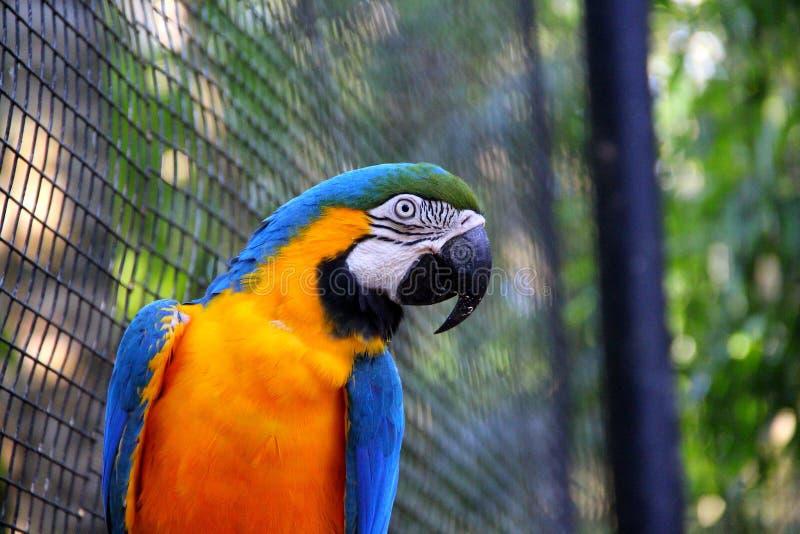 Ара голубого и желтого золота - ararauna Ara стоковые фотографии rf