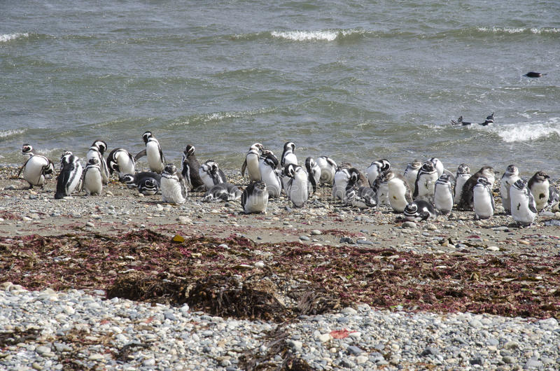 Арены Punta - колония пингвина стоковые изображения