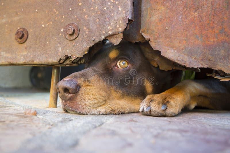 Аризона, Bisbee, США, 6-ое апреля 2015, собака смотрит под стальной дверью стоковые фотографии rf