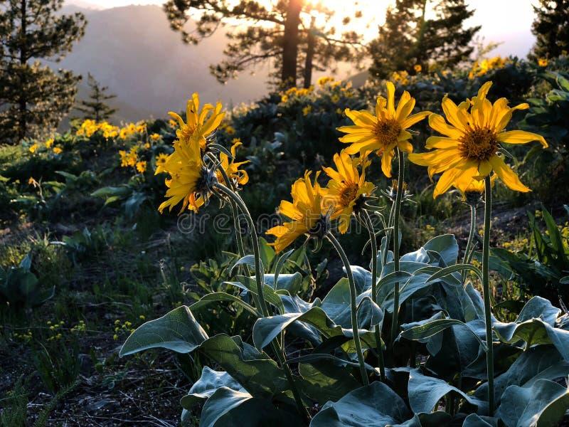 Арника или Arrowleaf Balsamroot цветут в высокогорных лугах на заходе солнца стоковая фотография rf