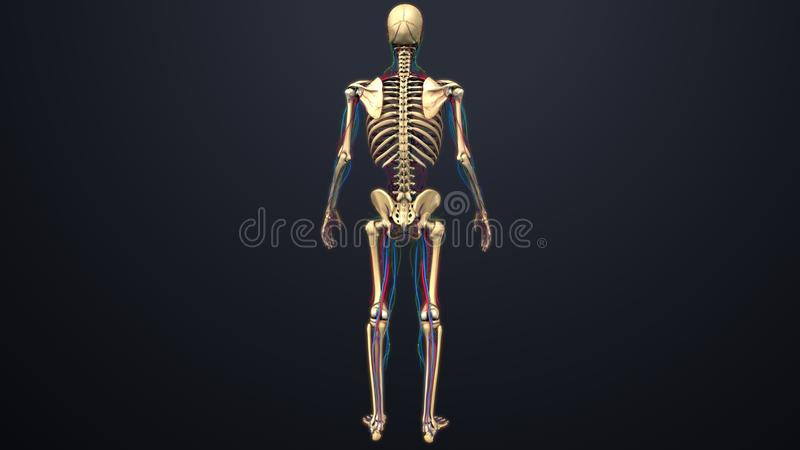 Артерии, вены и лимфоузлы с каркасным задним взглядом бесплатная иллюстрация