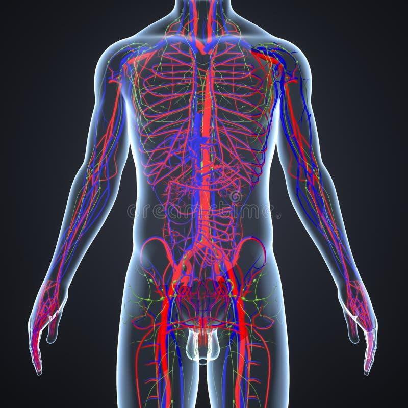 Артерии, вены и Lymphnodes с человеческим телом бесплатная иллюстрация