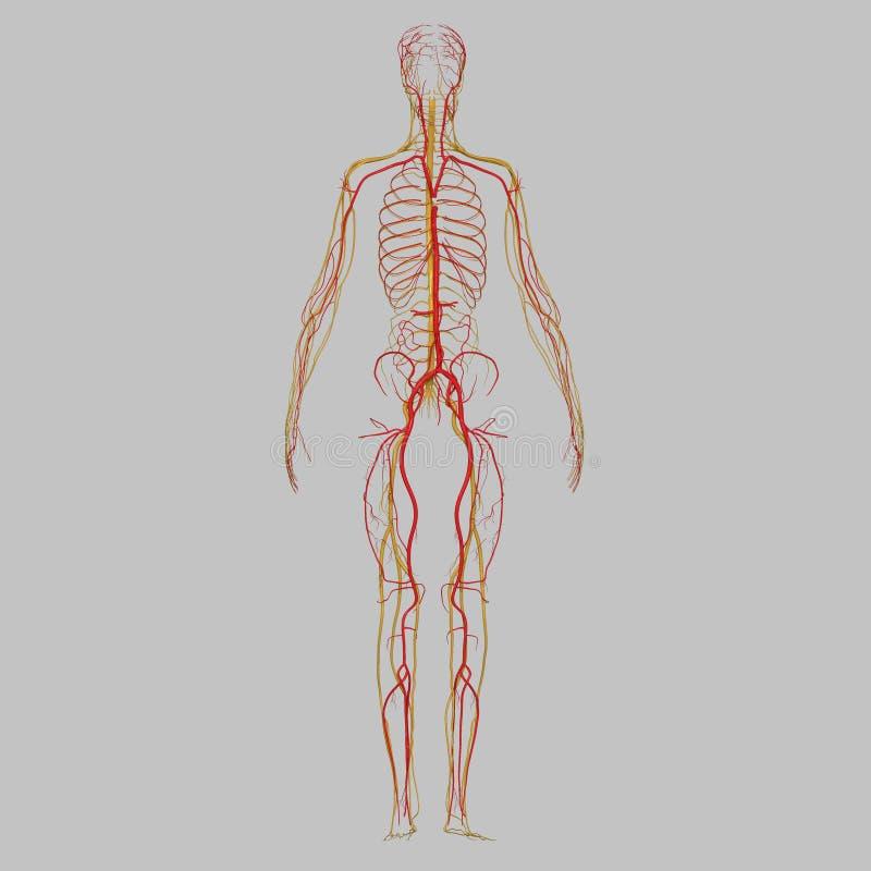 Артерии и нервы иллюстрация вектора