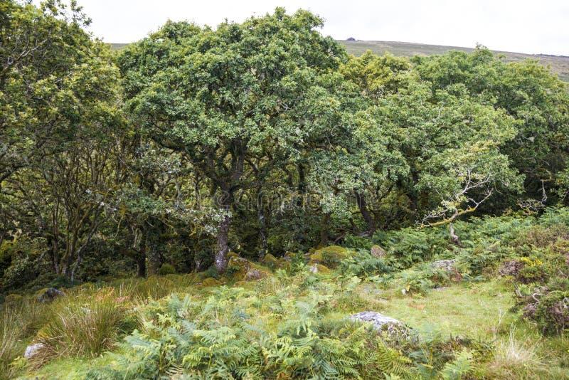 Аспекты древесины ` s Wistman - старый ландшафт на Dartmoor, Девоне, Англии стоковое фото rf