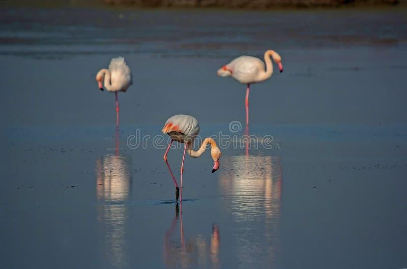 Астетический фламинго птицы стоковое фото rf