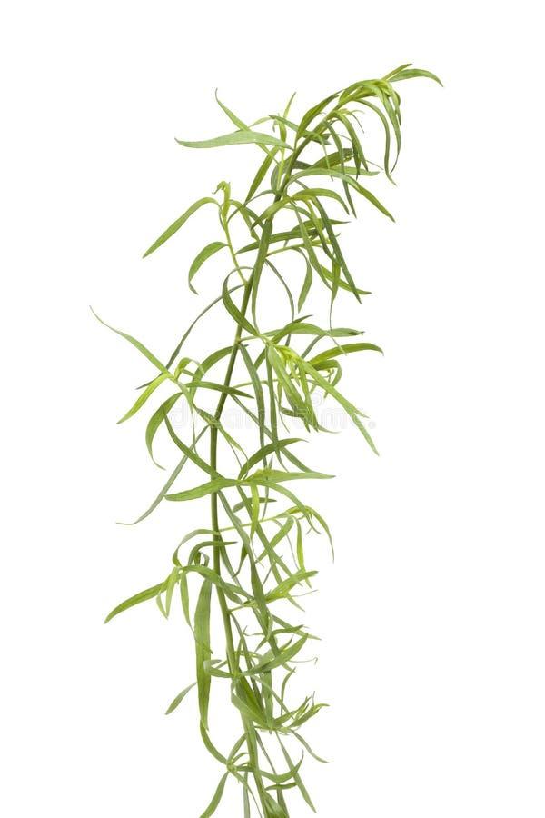 астрагон ветви свежий стоковое изображение