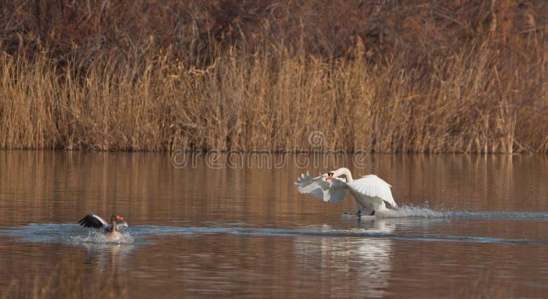 атакуя лебедь гусыни безгласный стоковая фотография