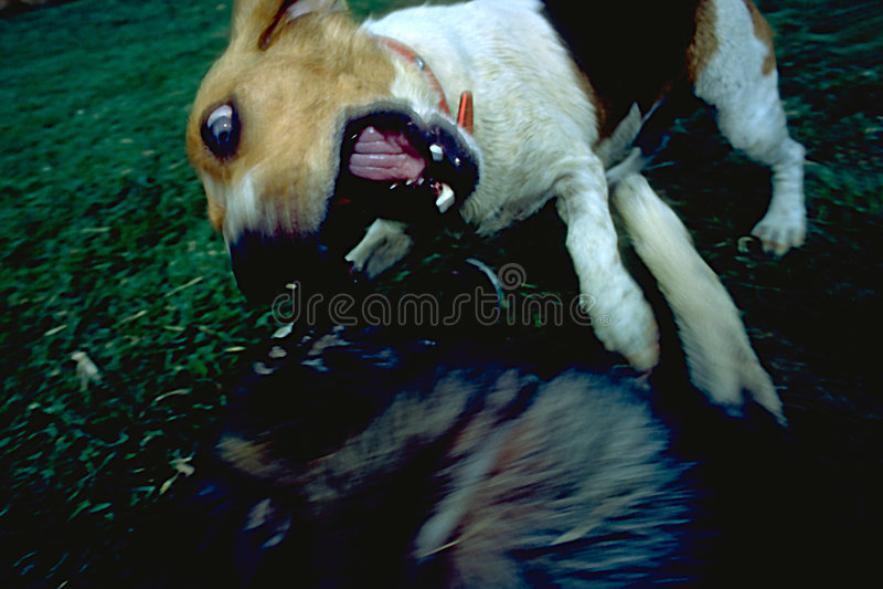 атакуя собака Стоковое фото RF