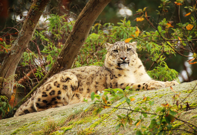 латинское uncia снежка имени леопарда стоковые фото