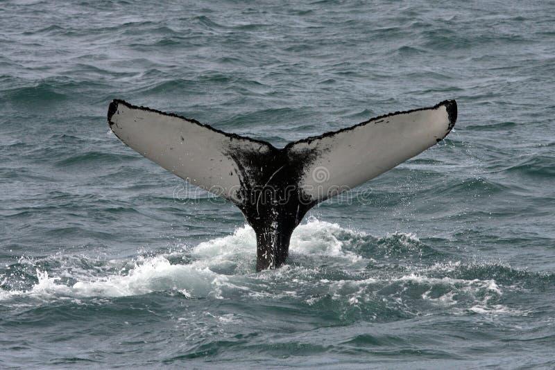 атлантический кит океана Исландии humpback стоковое изображение rf