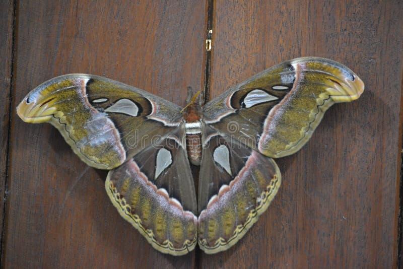 Атлас - бабочка сумеречницы ` s sri lankan Biggestfather большая продолжительность жизни высоко На самом низкоуровневом стоковое фото rf