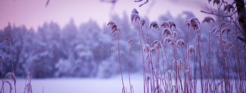 Атмосферический ландшафт снега зимы с пурпурными тонами стоковые фото