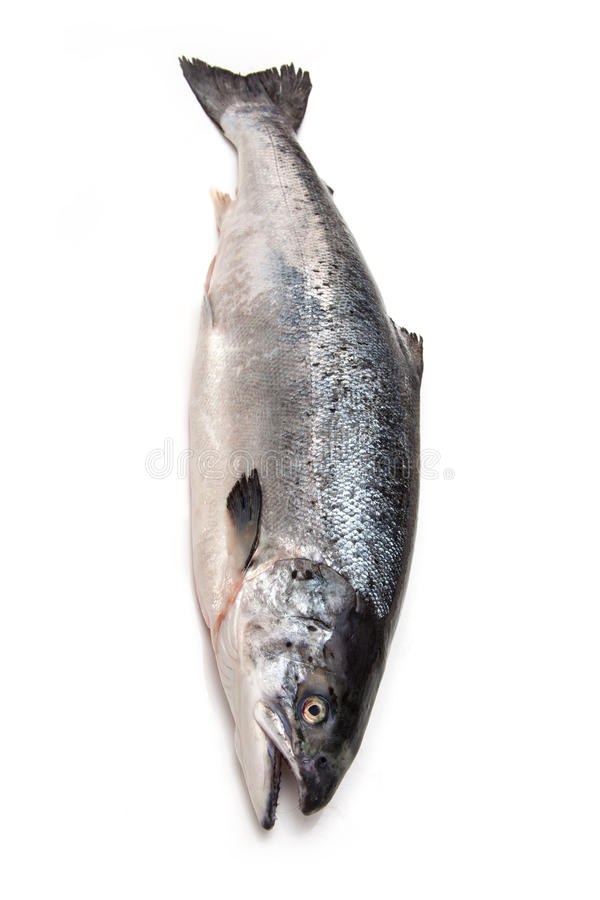 Атлантические рыбы семг (Salmo солнечного) все стоковое фото