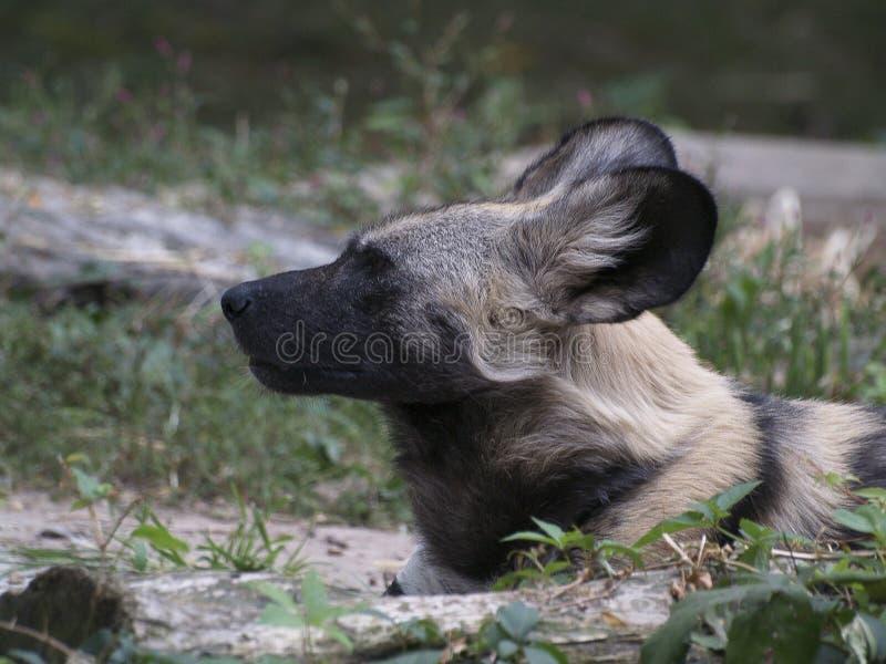 Африканская дикая собака лежа вниз стоковое изображение
