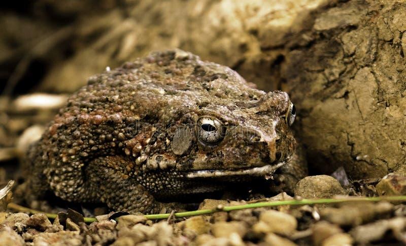 Африканская жаба стоковое изображение