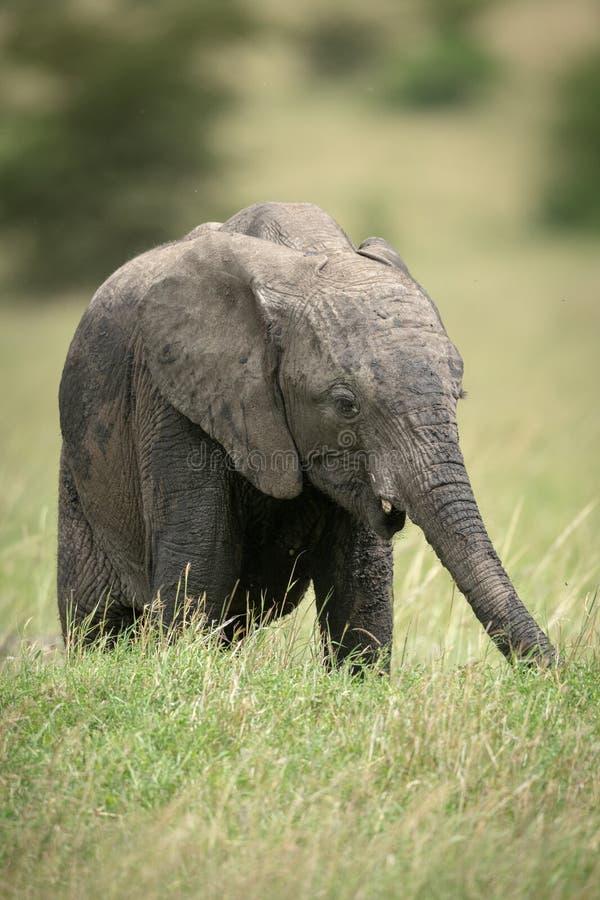 Африканская икра слона куста стоит ел траву стоковая фотография rf