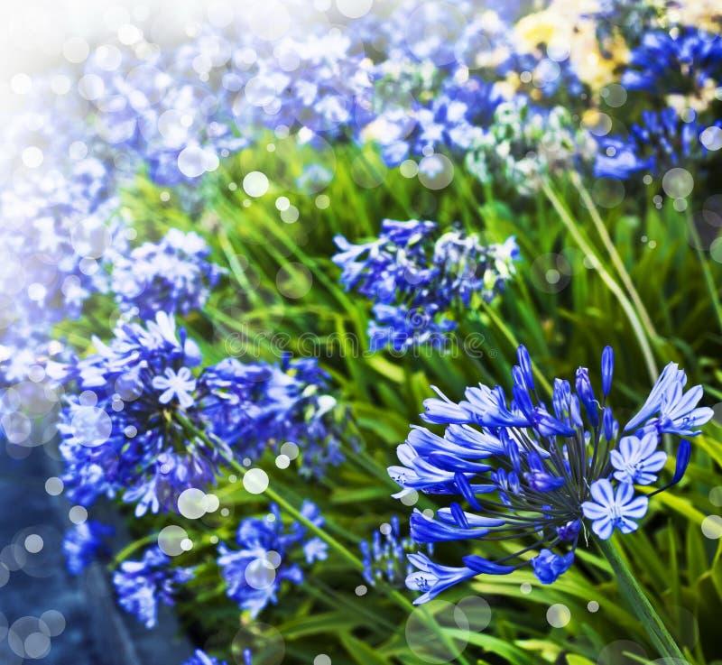 Африканская лилия, голубые цветки вектор детального чертежа предпосылки флористический стоковое фото rf