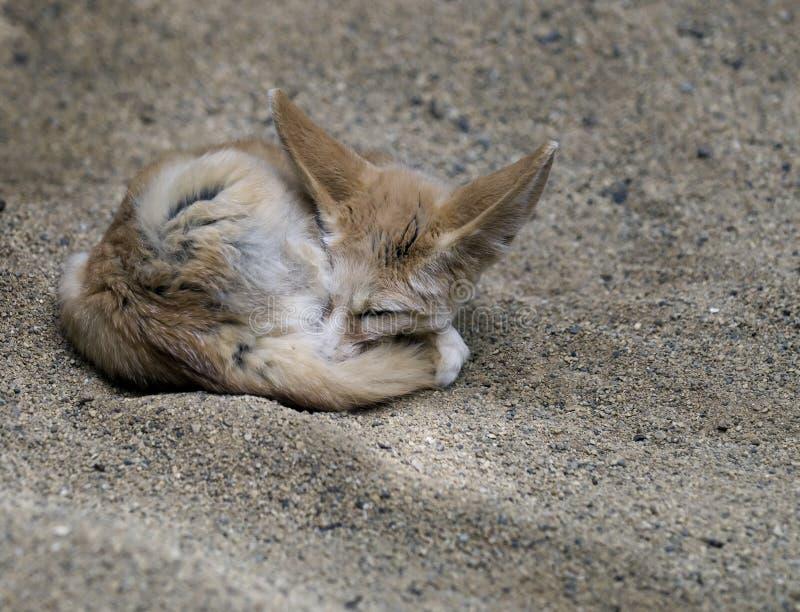 африканская лисица fennec стоковое изображение rf