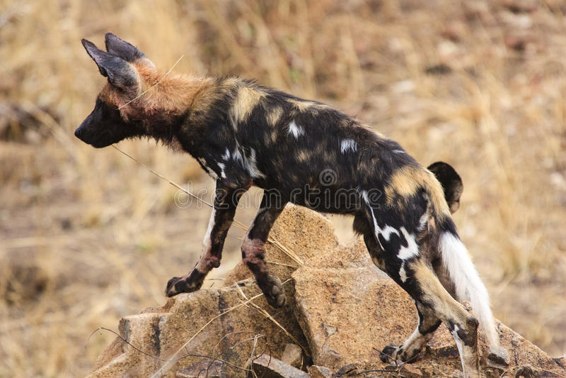 Африканская одичалая собака стоковые фото