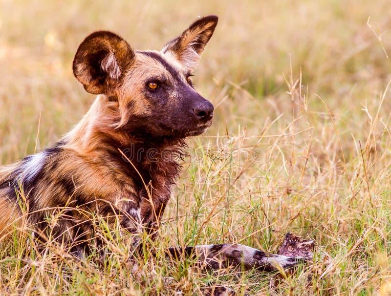 Африканская одичалая собака стоковое изображение rf