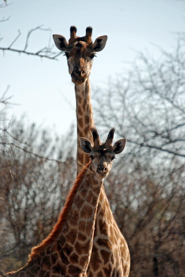 африканская саванна пар giraffe стоковые изображения