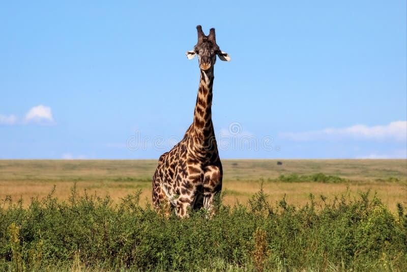 африканская саванна giraffe стоковые фото