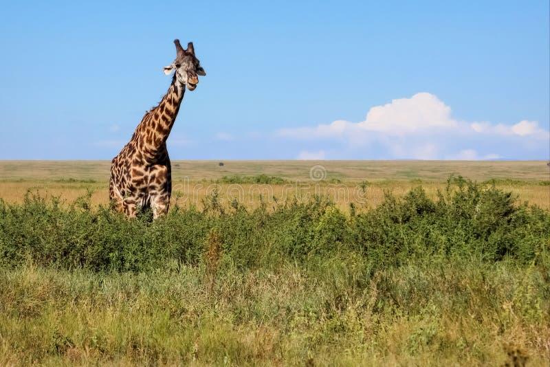 африканская саванна giraffe стоковое фото