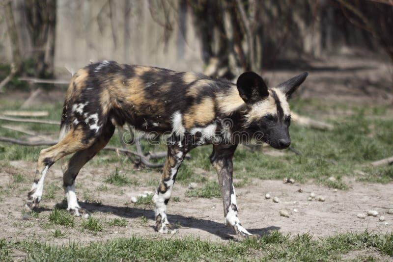 африканская собака одичалая стоковое изображение