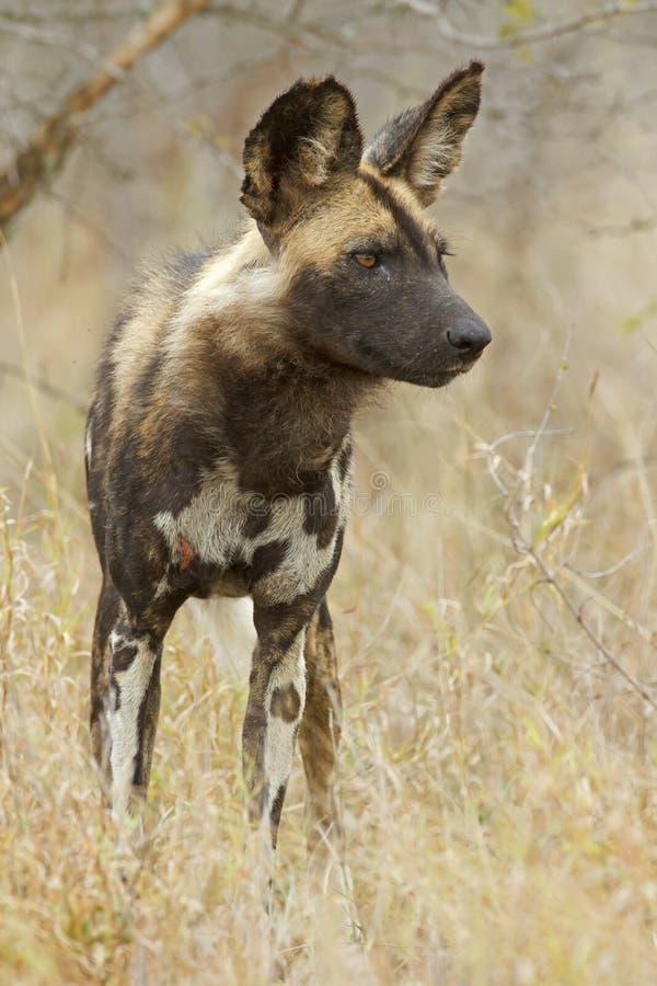 африканская собака одичалая стоковые изображения