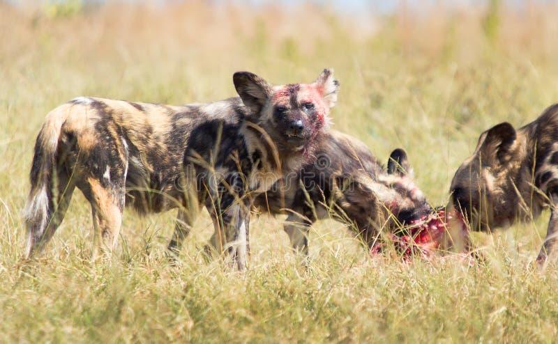 Африканская сторона крови диких собак стоковая фотография