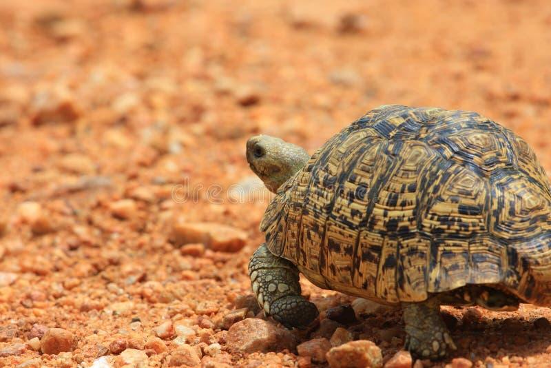 африканская черепаха леопарда стоковая фотография