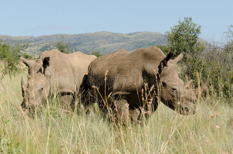Африканские белые пары носорога стоковое фото rf