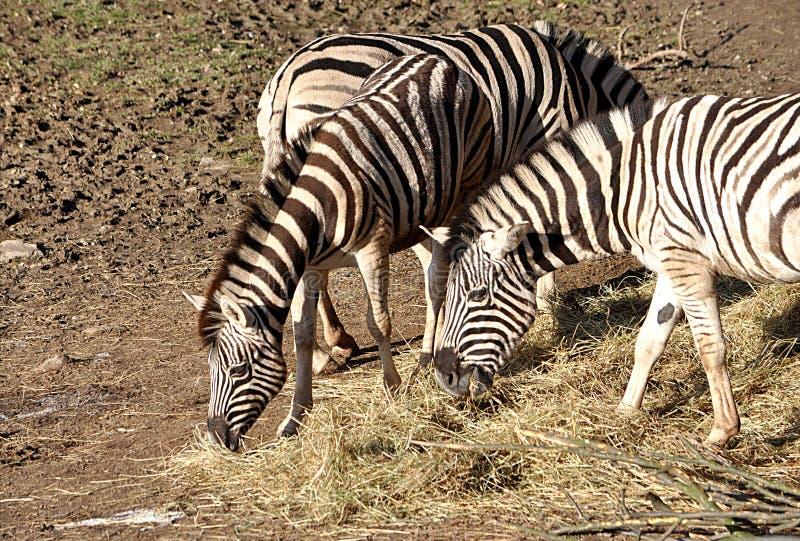 Африканские животные - нервюры стоковые фото