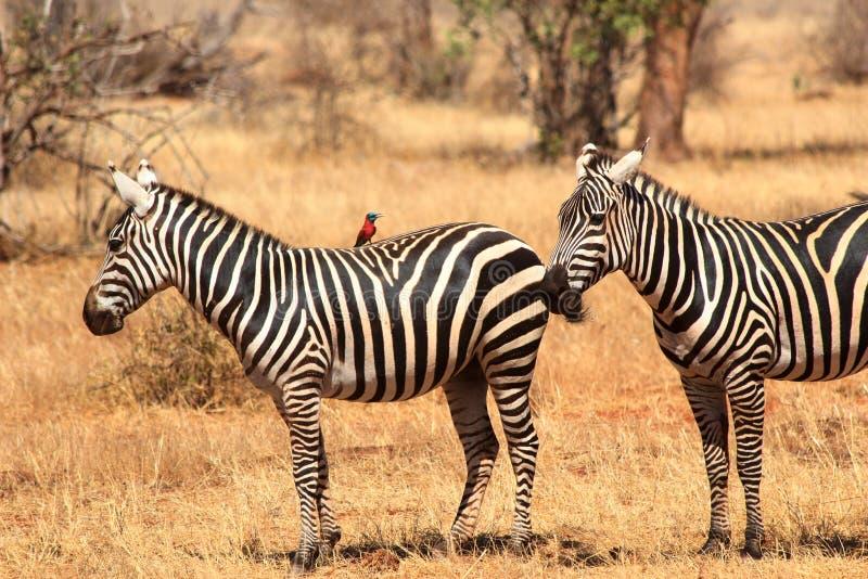 Африканские зебры в парке Tsavo в Кении стоковое фото