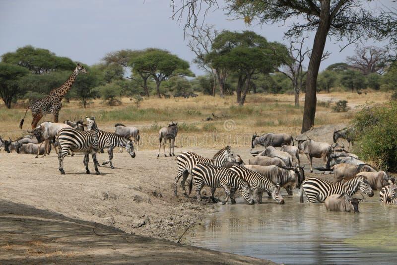 Африканские зебры в Танзании стоковая фотография rf