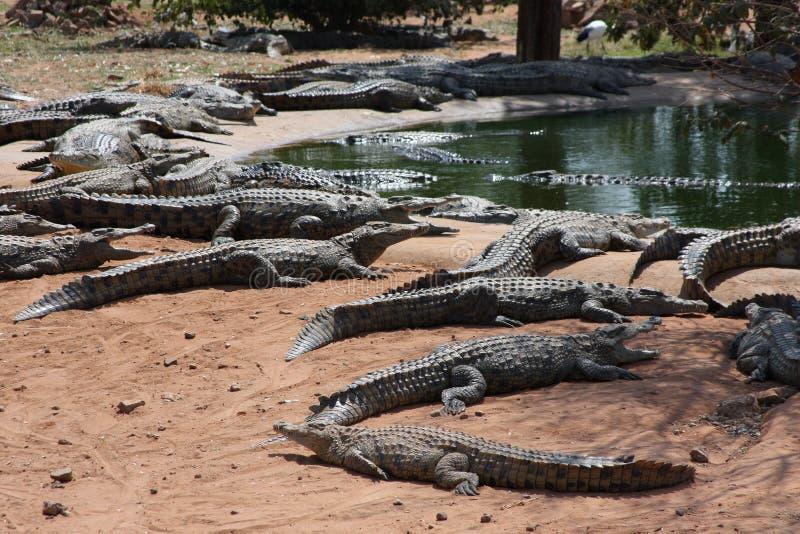 Африканские крокодилы имеют воду в пойме Замбези стоковая фотография rf