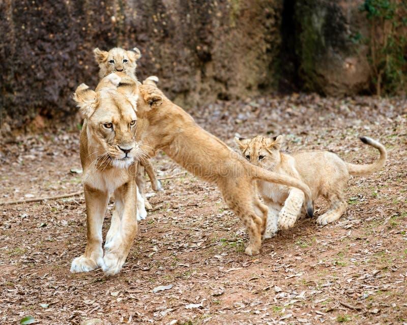 Африканские новички льва играя с их матерью стоковая фотография
