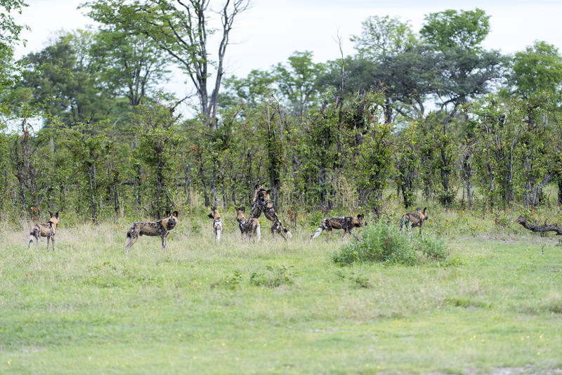Африканские одичалые собаки стоковые изображения