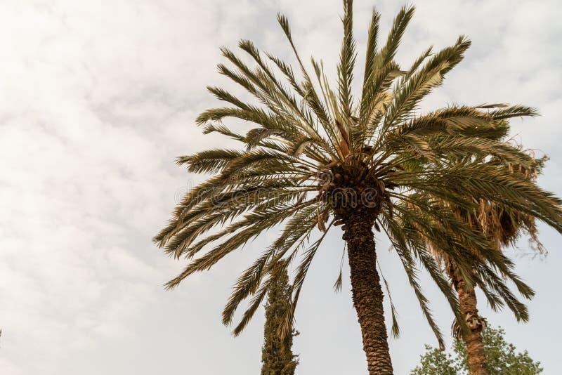 Африканские пальмы оазиса растя в сахаре стоковое фото rf