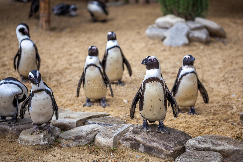 Африканские пингвины в зоопарке Тбилиси, мире животных стоковые фотографии rf