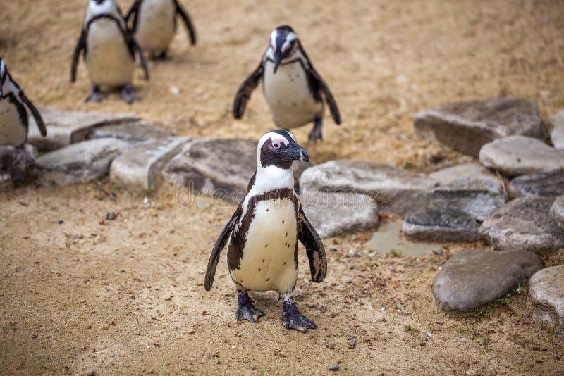 Африканские пингвины в зоопарке Тбилиси, мире животных стоковые фото