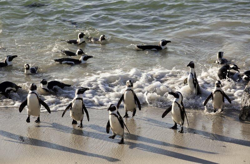 Африканские пингвины на песке на валунах приставают к берегу, Кейптаун стоковое изображение rf