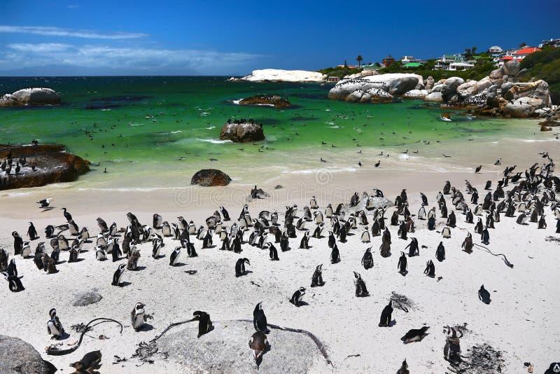 Африканские пингвины на пляже валунов расположенном в Simon& x27; городок Кейптаун s, Южная Африка стоковые фотографии rf