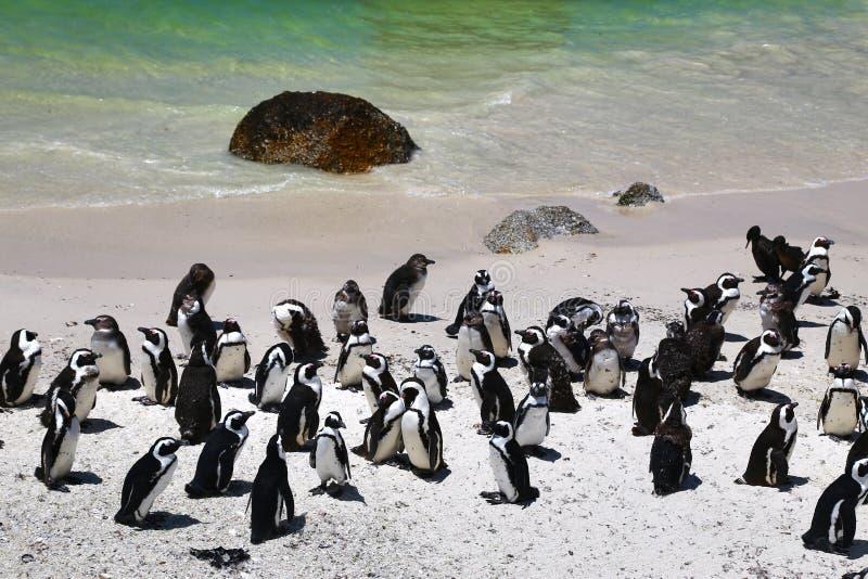 Африканские пингвины на пляже валунов расположенном в Simon& x27; городок Кейптаун s, Южная Африка стоковые изображения