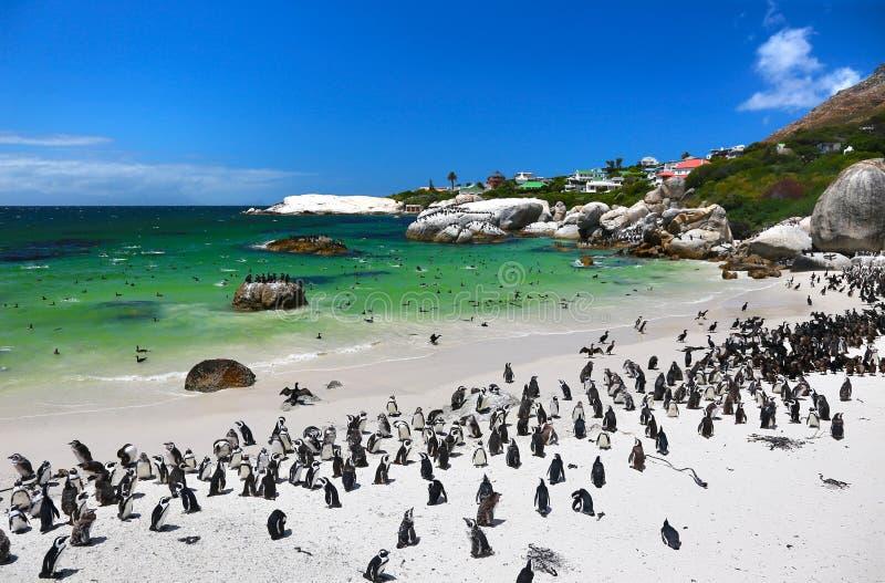 Африканские пингвины на пляже валунов расположенном в Simon& x27; городок Кейптаун s, Южная Африка стоковое изображение rf