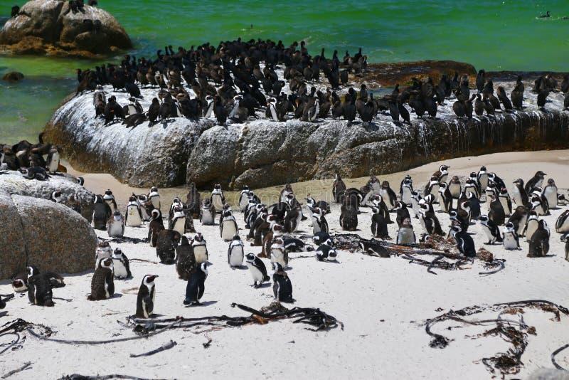 Африканские пингвины на пляже валунов расположенном в Simon& x27; городок Кейптаун s, Южная Африка стоковое изображение