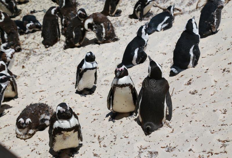 Африканские пингвины на пляже валунов расположенном в Simon& x27; городок Кейптаун s, Южная Африка стоковое фото